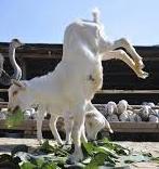 ovelha 1